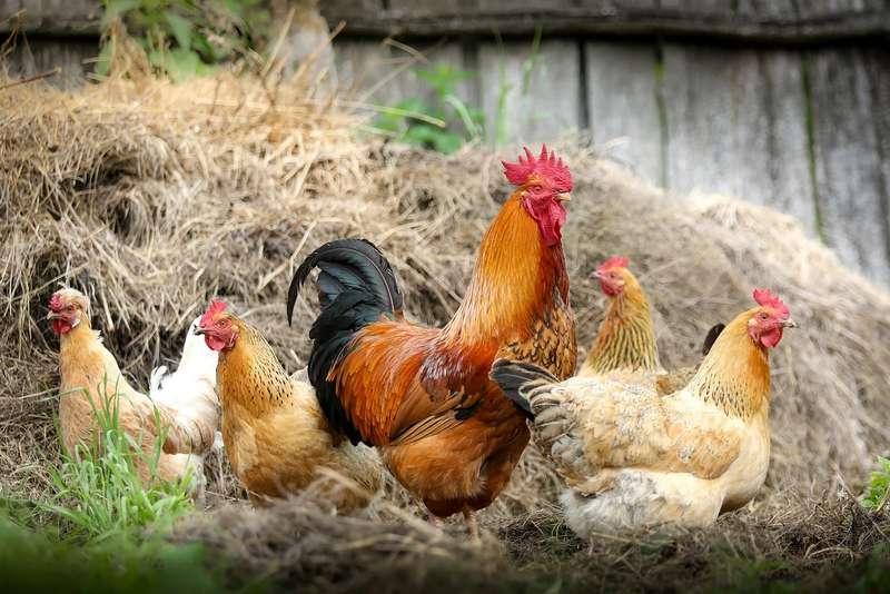 bagarre entre poules
