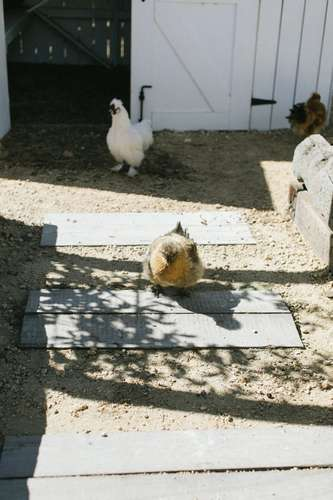 Les poules à l'ombre