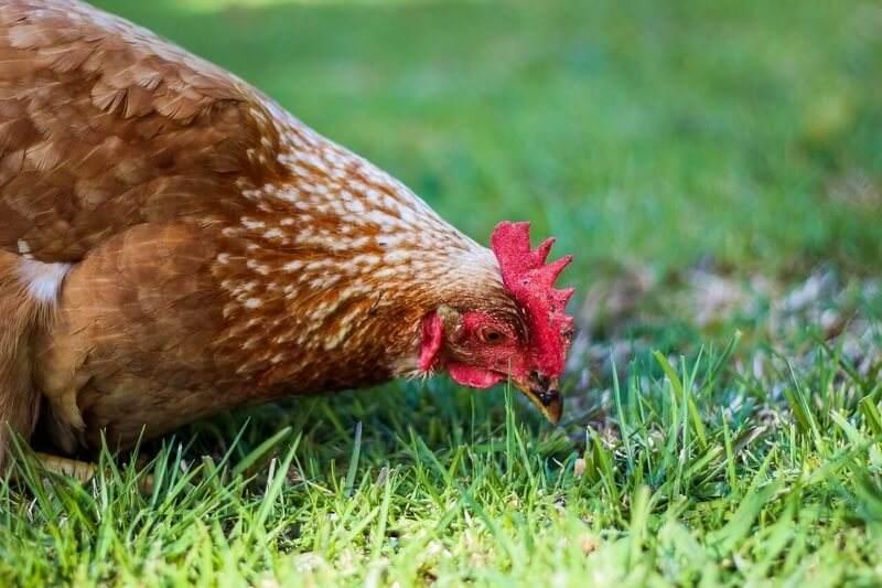 Nourrir-poules-alimentation