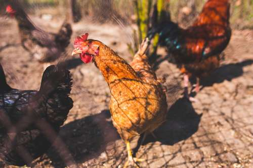 isoler la poule malade